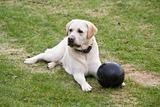 dog Labrador with black ball