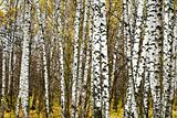 birch grove 