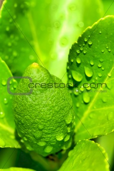 Green lemon on tree.