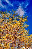 yellow autumn oak tree