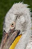 head of the Dalmatian pelican