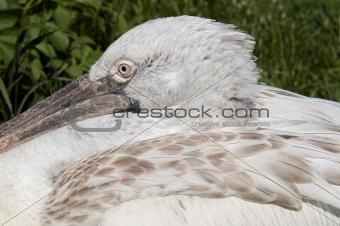 head of the Dalmatian pelican