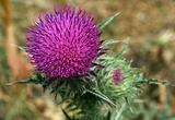 Pink Spear Thistle