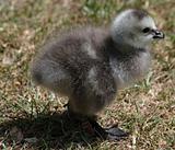Barnacle Geese goslings 2