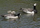 Barnacle Geese and goslings