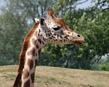 Giraffe 24