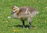 Canada Geese gosling 3