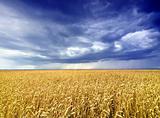 Rain over cornfield