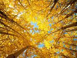 Fall Aspen Trees