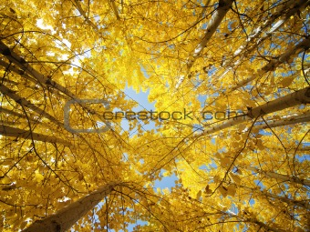 Fall Aspen Trees 
