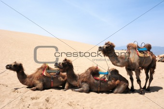 Camels in the deserts