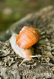 crawling snail