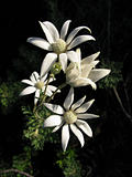 australian flannel flower