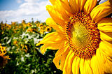 sunflower on blue sky background