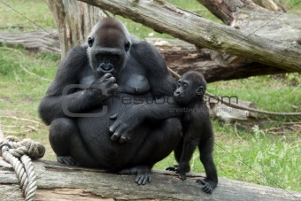 young baby gorilla and mother