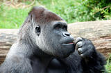 gorilla the thinker