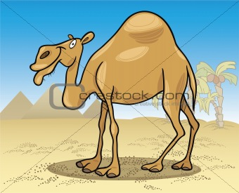 dromedary camel on desert