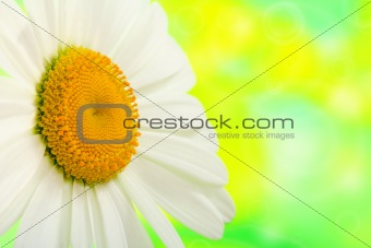 Camomile close up on a green background.