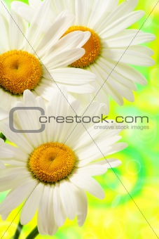 Three daisies closeup.