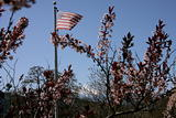 US Flag and tree blossoms and Mt Hood.