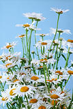 Chamomile bouquet