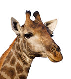 Giraffe portrait isolated