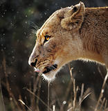 Lioness portrait in the rain