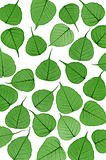 Skeletal leaves on white - background