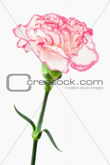 Close up of a white and pink carnation