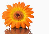 Orange gerbera on a mirror