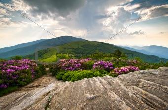 Rhododendron Bloom on Blue Ridge Appalachian Trail Roan Mountains Peaks