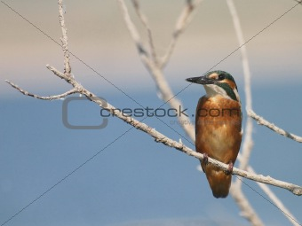 Common Kingfisher on river, alcedo atthis