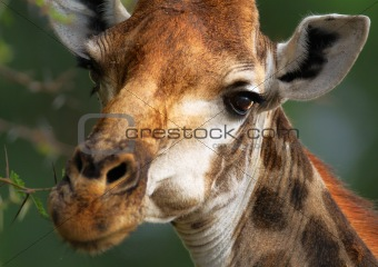 Close-up Giraffe portrait