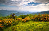 Flame Azalea Blooms Blue Ridge Mountains Roan Highlands State Park