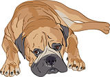 purebred Bull mastiff