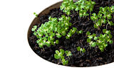 Thai Holy basil Sprouts
