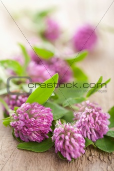pink clover flower