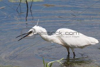 Little Egret on river,  Egretta garzetta