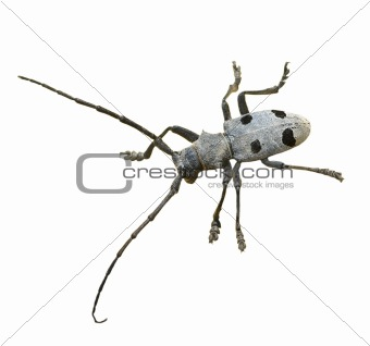 Rhagium inquisitor isolated on white background, Ribbed pine borer