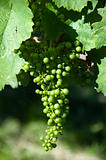 Small Green Grapes in Vineyard