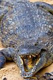 A nile crocodile, Crocodylus niloticus