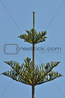 araucaria of south america