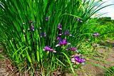 blooming irises