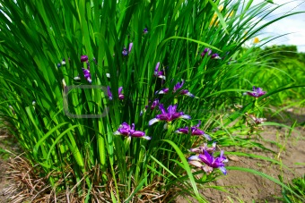 blooming irises