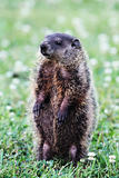 Groundhog