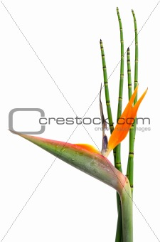 Strelitzia Reginae and reed