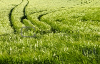 Green barley field in the spring
