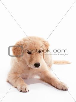 Laying Puppy Golden Retriever