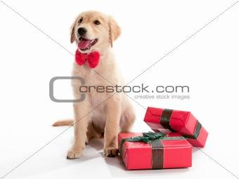 Bow Tie Present Puppy