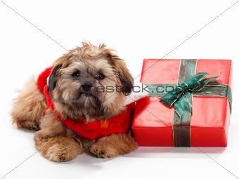 Laying Christmas Shi Poo